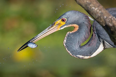 Prize Catch (gseloff) Tags: tricoloredheron bird feeding fish nature wildlife horsepenbayou pasadena texas kayakphotography gseloff