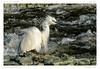 Aigrette garzette (BerColly) Tags: france auvergne puydedome allier riviere river aigrettegarzette littleegret plumes feathers blanc white water bercolly google flickr