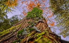 Herbst im Baum (frakof) Tags: hederahelix autumn holz fall wald hofgarten bunt trees tree 2017 forest herbst baum larix lärche efeu autum2017 wood sonyrx100iv
