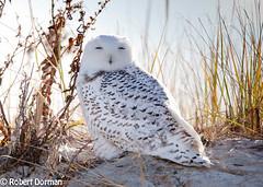 Snowy Owl (Bubo Scandiacus) (tavarez.niurka) Tags: snowy owl bubo scandiacus lechuza buho gufo coruja hedwig harry potter new jersey ibsp island beach state park shore migrant raptor buma eule chouette unicorn predator arctic dunes dune sand cute