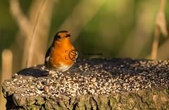 Robin (simon.williams28) Tags: birds wildlife northeast twitcher woodland woodlandbirds gardenbirds gosforthparknaturereserve natture nature naturereserve