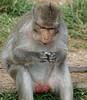 Angkor Wat Macaque monkey, eating banana chips R1009401 (Recliner) Tags: khmer cambodia kampuchea