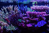 8A0A9215 (ct_purley) Tags: canon 5d mark iv aac advanced aquarium consultancy reef tank saltwater corals sps small polyped stony
