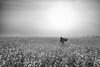 Lady in Fields (Padmanabhan Rangarajan) Tags: araku yellow flowers india rural woman farming plucking harvest labour