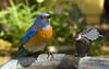 Young male Western Bluebird (Pat Durkin OC) Tags: backyard bird westernbluebird sialiamexicana