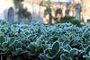 brina (giovannamarchioli) Tags: giardino sempreverde pianta brina inverno freddo canon