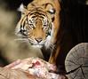Tiger Lookout (greekgal.esm) Tags: sumatrantiger tiger bigcat cat feline animal mammal carnivore indah lamb carcass losangeleszoo lazoo losangeles griffithpark sony rx10m3 rx10iii