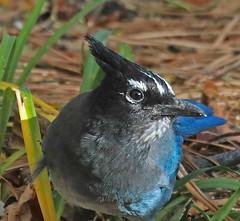 CAE007431a (jerryoldenettel) Tags: 171103 2017 corvidae cyanocitta cyanocittastelleri jay luislopez nm passeriformes socorroco stellersjay bird corvid passerine
