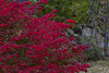 Leaves on Fire (brucetopher) Tags: fall foliage autumn leaf leaves red burningbush burning bush fiery fire bright changeofseason changing season seasonal flora
