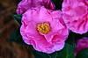 Pink Camellia (deanrr) Tags: camellia flower bloom plant pinkflower pinkcamellia 2017 autumn2017 morgancountyalabama alabama nature outdoor leaves flora