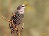 Estornino pinto (Sturnus vulgaris) (9) (eb3alfmiguel) Tags: aves pajáros insectívoros passeriformes sturnidae estornino pinto sturnus vulgaris