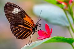Schmetterling beim genießen (Robert.B. Photography) Tags: bunt schmetterling tropisch blatt natur tier nektar insekt blüte makro pflanze colorful butterfly tropical leaf nature animal nectar insect blossom macro plant