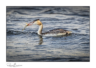 Great Crested Grebe with fish 2