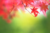 dream flight (hitohira_) Tags: flower flowers n nature bokeh leaves maple