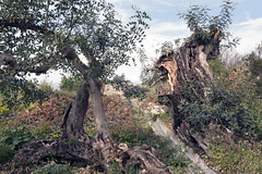 IMG_9945 After the storm (jaro-es) Tags: nature natura natur naturewatcher naturemaster naturesfinest canon costablanca españa eos70d spanien spain spanelsko arbol baum tree sturm storm
