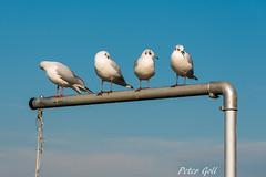 Waiting (Peter Goll thx for +5.000.000 views) Tags: 2017 urlaub möve inn österreich schärding sky himmel blue bird blau d800 nikon nikkor gull