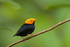Golden-headed Manakin (Greg Lavaty Photography) Tags: goldenheadedmanakin ceratopipraerythrocephala trinidad november asawright naturecenter tropical tropics neotropical photographytour birdphotography outdoors bird nature wildlife