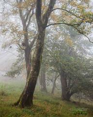 Mistree (www.neilporterphotography.com) Tags: misty fog mist tree wood woodland yarner