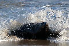 Grey Seals (Karen Roe) Tags: horsey norfolk county gb greatbritain uk unitedkingdom camera photography photograph photographer picture image snap shot photo karenroe female flickr tourist visit visitor 2017 coast beach seaside november canoneos760d canon dslr seal pup baby young adult grey