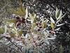 leccio (adelescognamiglio) Tags: albero tree fogliame foliage ghiande acorns leccio holm sangiorgioacremanonapoliparcodivillavannucchi