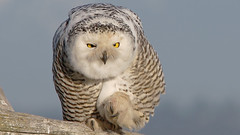 Great White Owl (photosauraus rex) Tags: snowyowl owl greatwhiteowl snowy raptor vancouver bc canada buboscandiacus