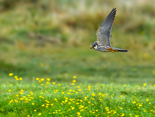 Hobby,over Buttercups on the banks of the Avon.