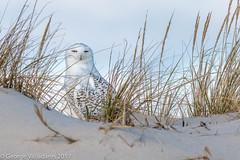 Snowy Owl (gvall66) Tags: d500 ibsp islandbeachstatepark nj nikon owl rba sigma150500 snowyowl