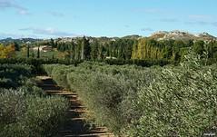Paysage des Alpilles (Missfujii) Tags: olivier alpilles nature champs