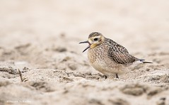 A big yawn (Photosuze) Tags: plovers birds sand beach avians aves pacificgoldenplover yawning nature wildlife animals