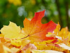 Glory Days (Synapped) Tags: fall autumn maple leaf red yellow ground
