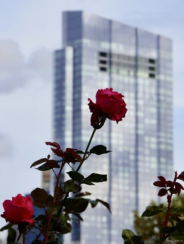 "Rose on Skyscraper • <a style=""font-size:0.8em;"" href=""http://www.flickr.com/photos/52364684@N03/38091828332/"" target=""_blank"">View on Flickr</a>"