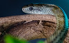 Snake on a stick (Paul A Wiles) Tags: japanese rat snake macromondays stick