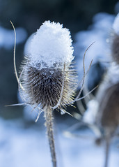 Photo of Icy Teasel