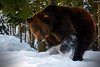 brown bear searching something in the snow-171711 (M. Pellinni) Tags: ifttt dropbox bear forest search winter snow spruce animal brown searching something lovely wildlife scenery outdoor nature annum park primeval cold tree engaging viewpoint location view hunt old menacing predator wild beast brutal vulturous raptor musty baloo mature explore seek carpathian ursus one inspect
