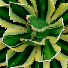 J20171102-0001—Agave lophantha (Agave univittata) 'Quadicolor'—DxO (John Rusk) Tags: dxofujivelvia50preset taxonomy:kingdom=plantae plantae taxonomy:subkingdom=tracheophyta tracheophyta taxonomy:phylum=magnoliophyta magnoliophyta taxonomy:class=liliopsida liliopsida taxonomy:order=asparagales asparagales taxonomy:family=asparagaceae asparagaceae taxonomy:subfamily=agavoideae agavoideae taxonomy:genus=agave agave metl agaves magueyes centuryplants taxonomy:common=metl taxonomy:common=agaves taxonomy:common=magueyes taxonomy:common=agave taxonomy:common=centuryplants