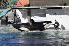 Inouk (LisaKristin1501) Tags: orca marineland antibes aquarium animaux orque inouk zoo killerwal killer whale wal