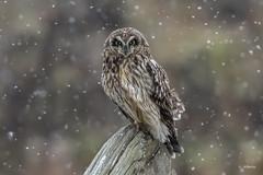Short-eared Owl / Hibou des marais (shimmer5641) Tags: asioflammeus shortearedowl hiboudesmarais owl raptor birdofprey birdsofbritishcolumbia birdsofnorthamerica