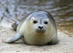 Charmer at Henne Mølleå beach (Jaedde & Sis) Tags: plettet sæl seal phocalargha portrait cute perpetualwinner friendlychallenges 15challengeswinner challengeclubwinner beach sweep pregamewinner