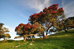 Pohutukawa tree (Janek Kloss) Tags: mangere mountain manukau auckland