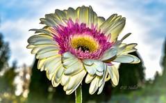 Electrified Daisy (darletts56) Tags: flower sun gerber daisy clouds backlit nikon was beautiful floral bokeh