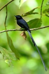 Terpsiphone corvina (Dindingwe) Tags: terpsiphonecorvina tchitrec tchitrecdesseychelles flycatcher paradiseflycatcherseychelles monarchidae seychelles sesel
