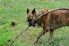 Munching 2 (Bob Hawley) Tags: nikond7100 nikkor35135mmf3545lens asia taiwan kaohsiung metropolitanpark outdoors taiwantugou dogs pets playing sticks animals grass