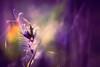 """""""Blue light..."""" (Ilargia64, back again!) Tags: bluelight violet flower macro nature ant bokeh blue light amayasanchez"""