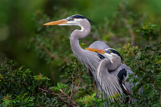 Great blue heron (Ardea herodias) couple on their nest at the Venice Audubon Rookery, Venice, Florida