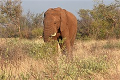 """Yum! I Think I'll Eat the Whole Thing"" (The Spirit of the World) Tags: elephant mammal woodland grassland grasses madikwe gamereserve southafrica safari africa gamedrive field trees wildlife nature"