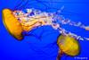 Chrysaora fuscescens (California Academy of Sciences) (astrofan80) Tags: aquarium brennnesselquallen california californiaacademyofsciences kalifornien museum naturkundemuseum quallen rundreise sanfrancisco stadt usa wasser chrysaorafuscescens
