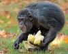 chimpanzee Burgerszoo BB2A6485 (j.a.kok) Tags: chimpanzee chimpansee aap ape monkey burgerszoo animal africa mammal mensaap primaat primate zoogdier dier