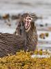 Tooth & Claw (coopsphotomad) Tags: otter mammal animal wildlife nature sea teeth claw fur seaweed shore wild predator apex
