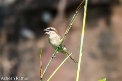 Brown shrike (asheshr) Tags: 200500mm bird birds birdsofindia birdsofodisha birdsoforissa brownshrike d7200 nikon nikon200500mm nikond7200 shrike