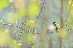 Great Tit (Benjamin Joseph Andrew) Tags: bird woodland wood forest perching autumn passerine songbird looking foraging